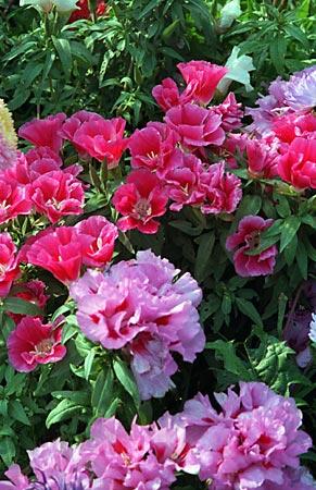 Годеция крупноцветковая рембрандт фото