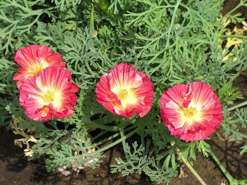 эшшольция размножение уход применение фото цветы