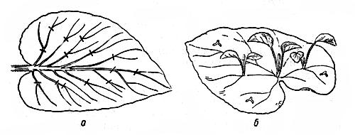 razmnogenie-begonii-listovimi-cherenkami3570b4d9fd5ec3