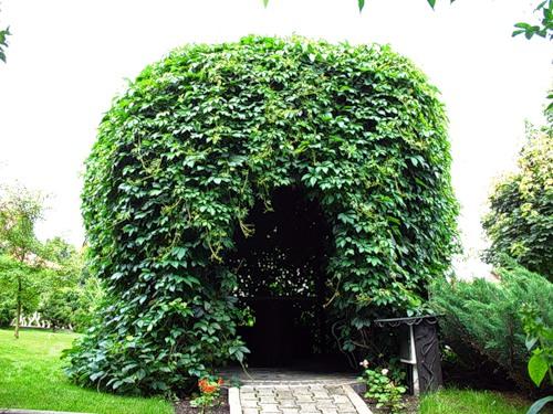 Девичий виноград: описание, размножение, уход, посадка, применение в саду, фото, сорта и виды