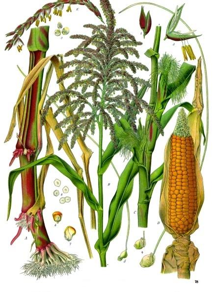 sladkie-pochatki-kukuruzi (2)570b4dd240ea8