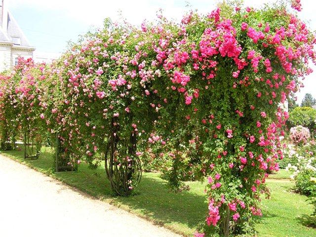 Плетистые розы в саду уход и выращивание