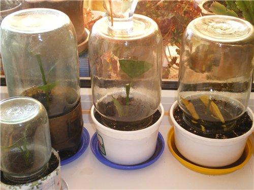 размножение цитрусовых черенкованием