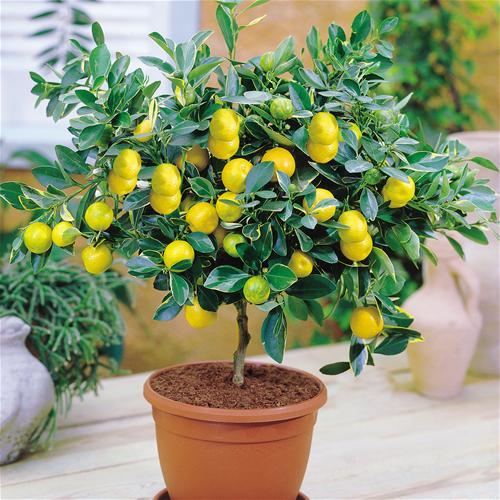 выращивание лимона дома