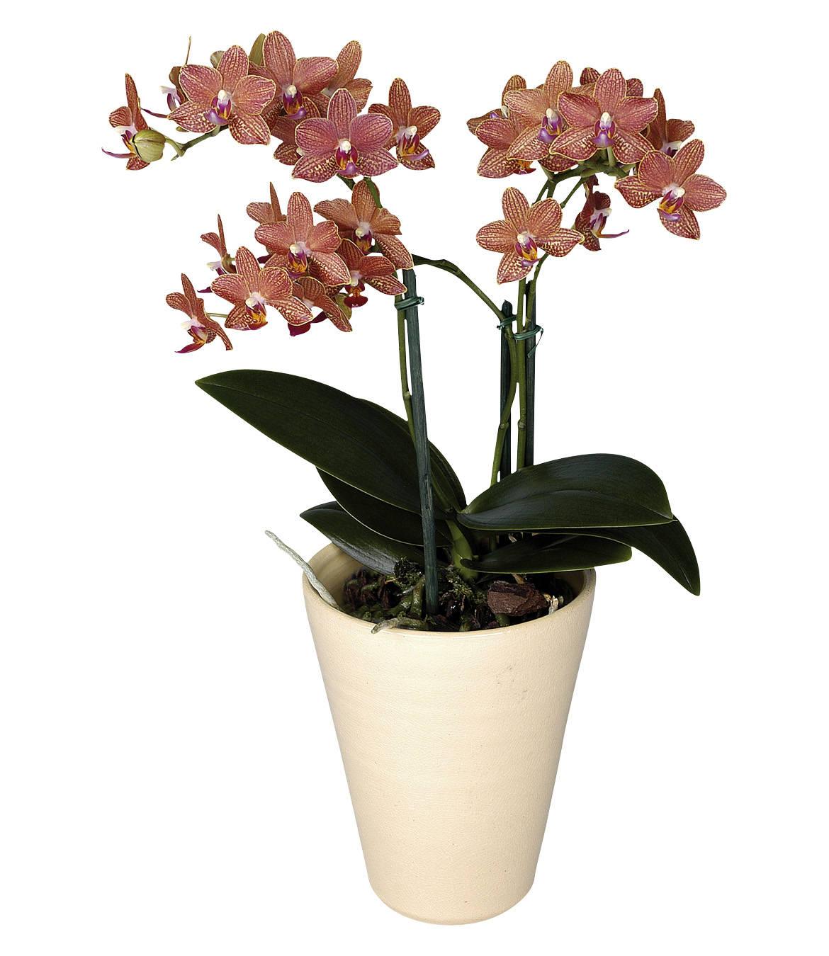 Орхидеи с мелкими цветами фото и названия