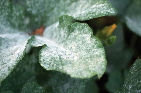 болезни вредители сенполий