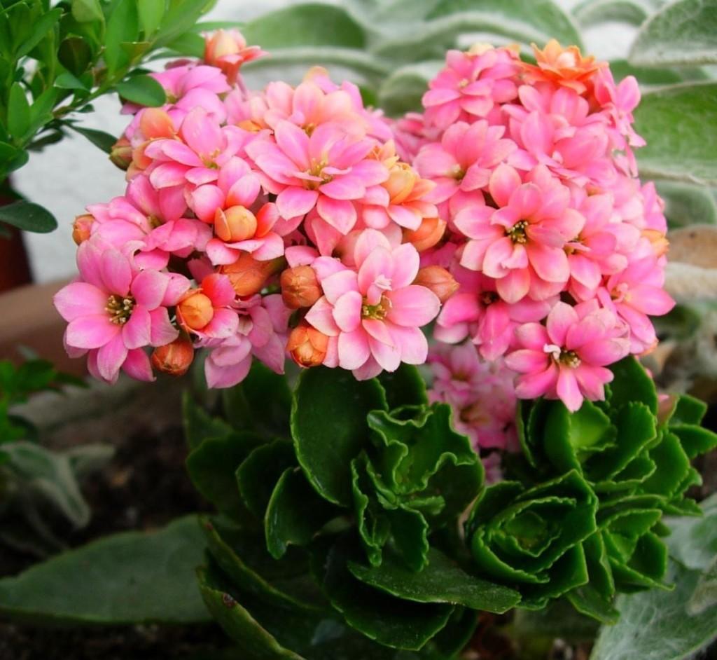 каландива уход размножение цветение