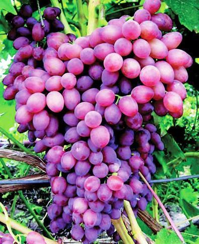виноград из черенков