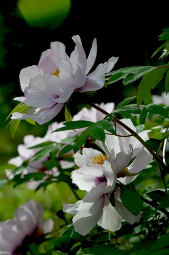 не цветут пионы