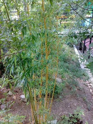 драцена - бамбук