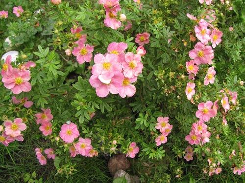 обрезка весеннецветущих кустарников