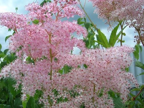 Не цветет лабазник