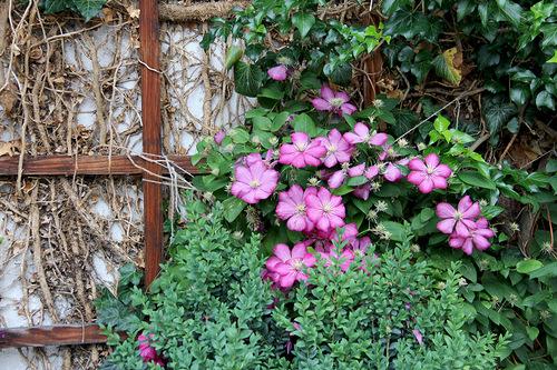 Клематисы в нашем саду