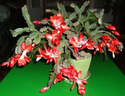 зимовка кактусов в квартире