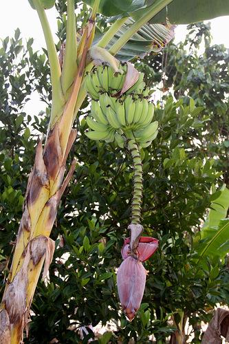 Выращиваем банан из семян