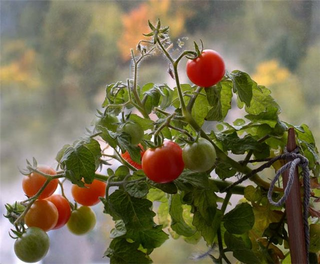 лучшие сорта помидоров