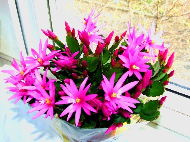 photo-010-ripsalidopsis-kaktusovye570b4e479b021