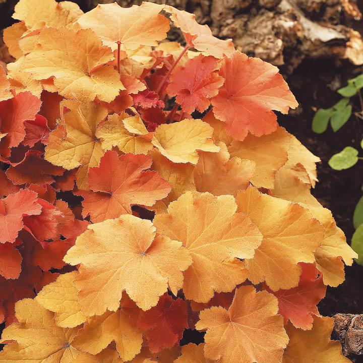 Выращивание желтых гейхер 94