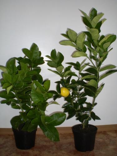 пересадка лимона 2