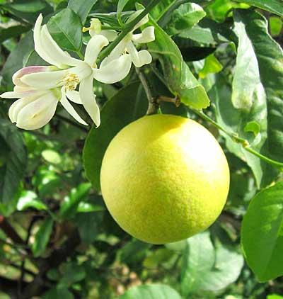 сорт лимона 2