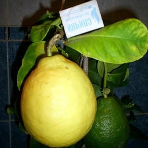 сорт лимона 3