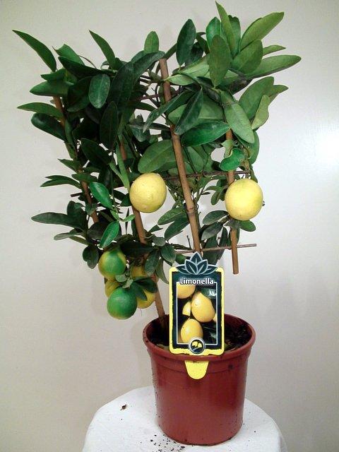 пересадка лимона 4