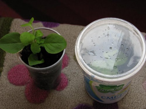 Выращивание петунии черенками 3