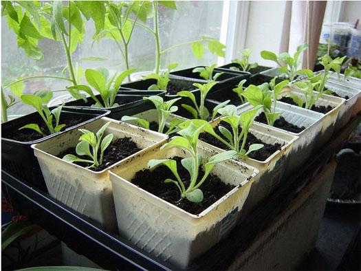 выращивание петунии 2