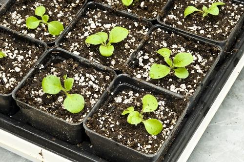 выращивание петунии 3