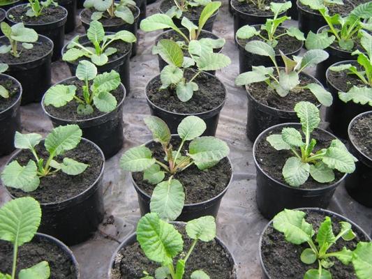 Выращивание примулы 2
