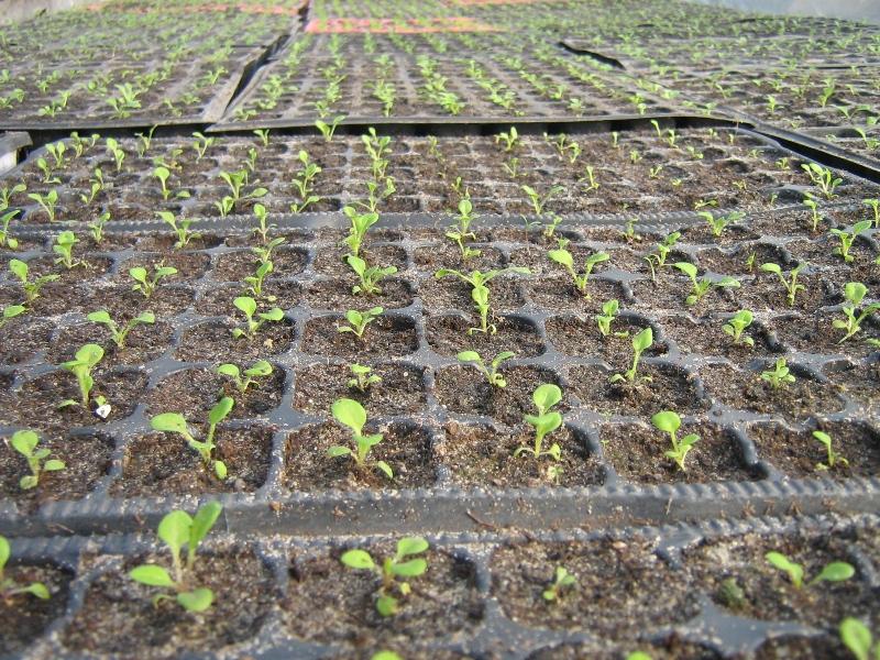Выращивание примулы 3