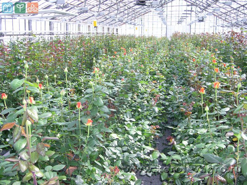Выращивание розы на срезку в теплице 32