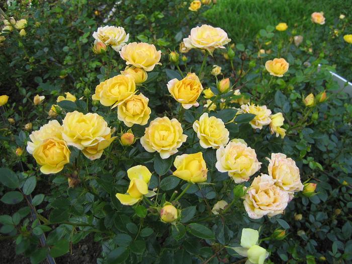 Выращивание полиантовых роз