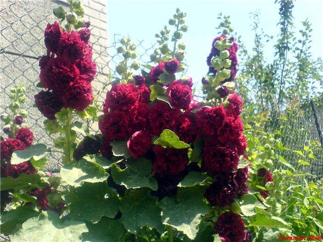 Семена цветов многолетние описание 12