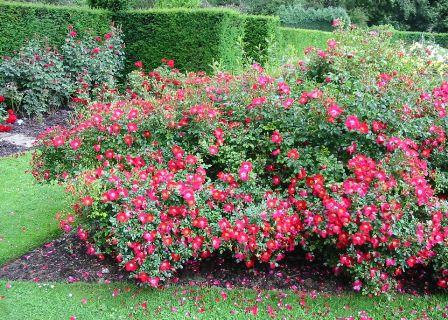 Почвопокровные розы: посадка, уход, подгруппы, сорта и виды