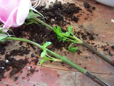 Размножение роз из букета