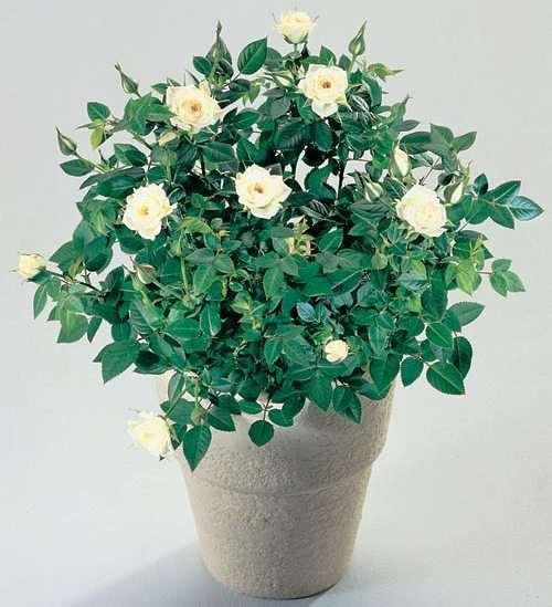 Выращивание комнатных роз