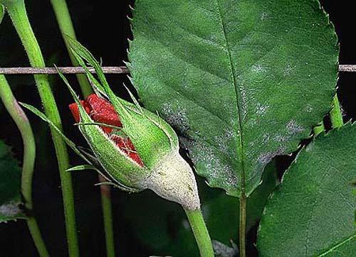 Основные болезни и вредители роз