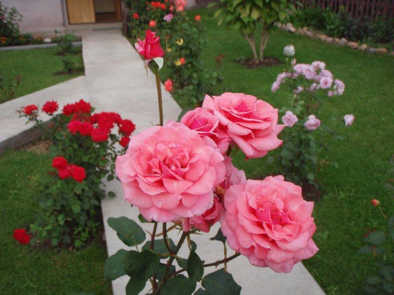 Выращивание карликовых роз в открытом грунте 92