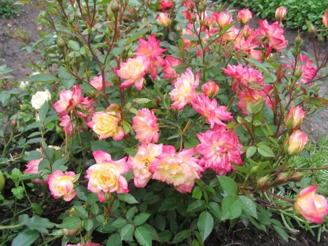 Полиантовые розы: сорта и виды