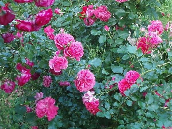 Выращивание кустовых роз