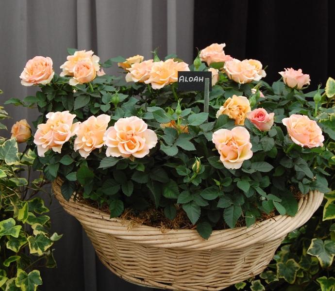 Миниатюрные розы: сорта и виды