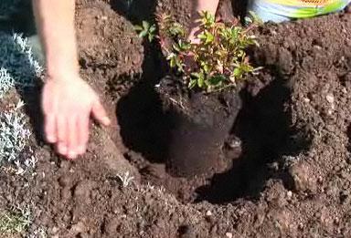 Стили посадки кустовых роз
