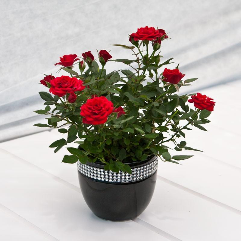 Выращивание домашней розы