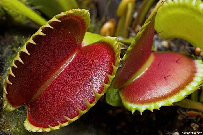 Какие бывают растения-хищники