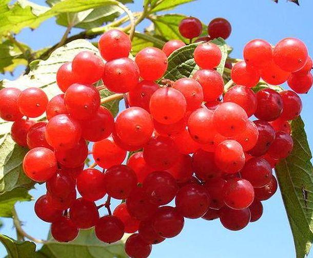 Калина красная: сбор, заготовка и хранение, применение в лечебных целях