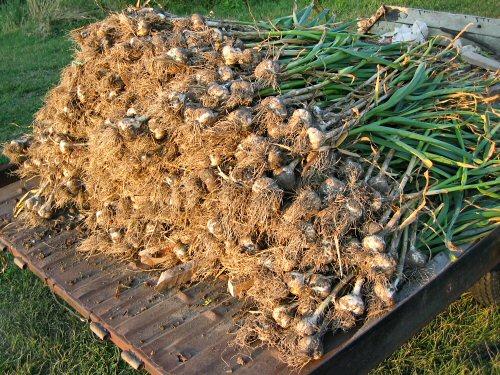 Как собрать урожай чеснока